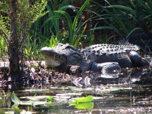 gator on log