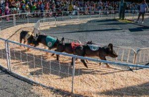 Howard County Fair -Pig Races
