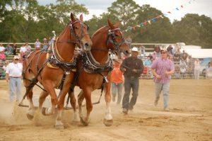 Benson_Mule_Days_ Horses3
