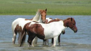 Chincoteague Pony Tea