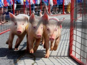 Ham&YamPigRaces