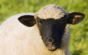face_wool_sheep_75916_1920x1200