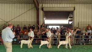 Goats IMG_0378